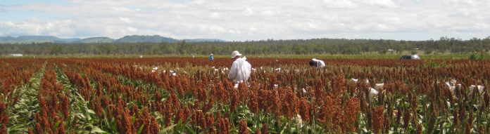 Sorghum M2 trials 054 crop